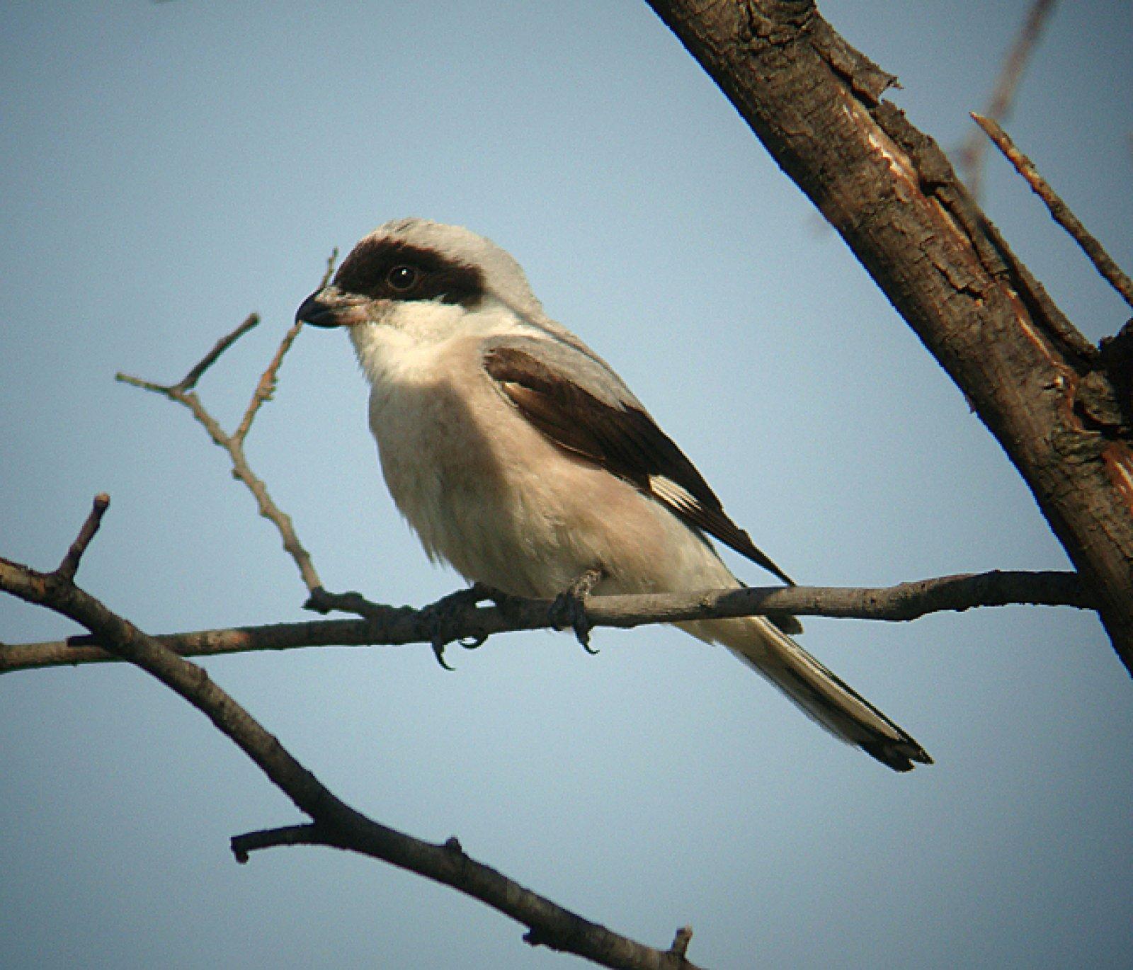 Exemplar de trenca, l'ocell estepari més amenaçat a la península Ibèrica