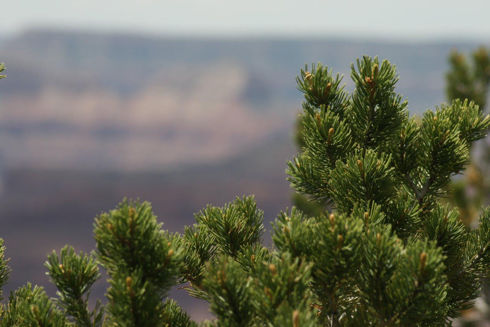 Detall d'un exemplar de Pinus edulis
