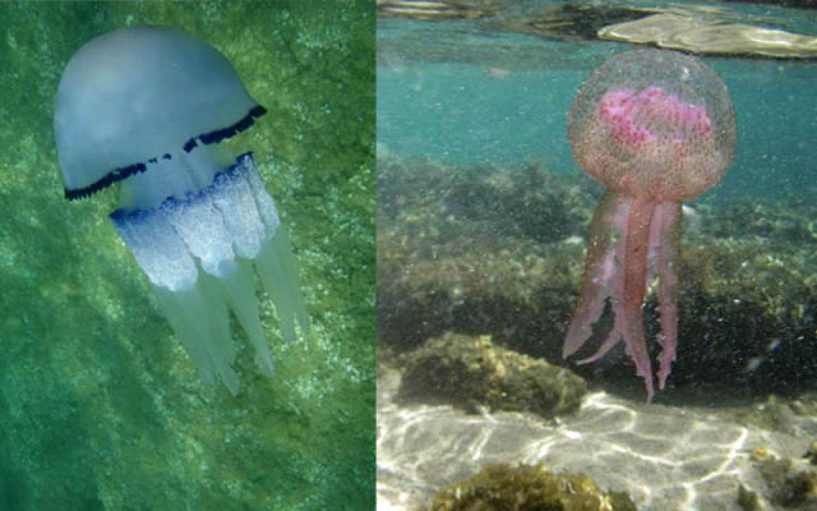 Dues de les espècies de medusa més comunes a les aigües catalanes