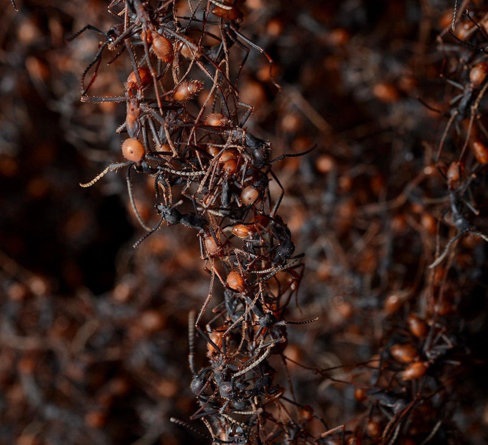 Formigues legionàries formant un pont
