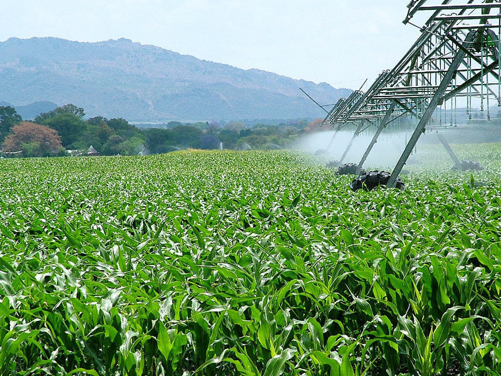Camps de blat de moro per a l'elaboració de bioetanol a Sud-àfrica