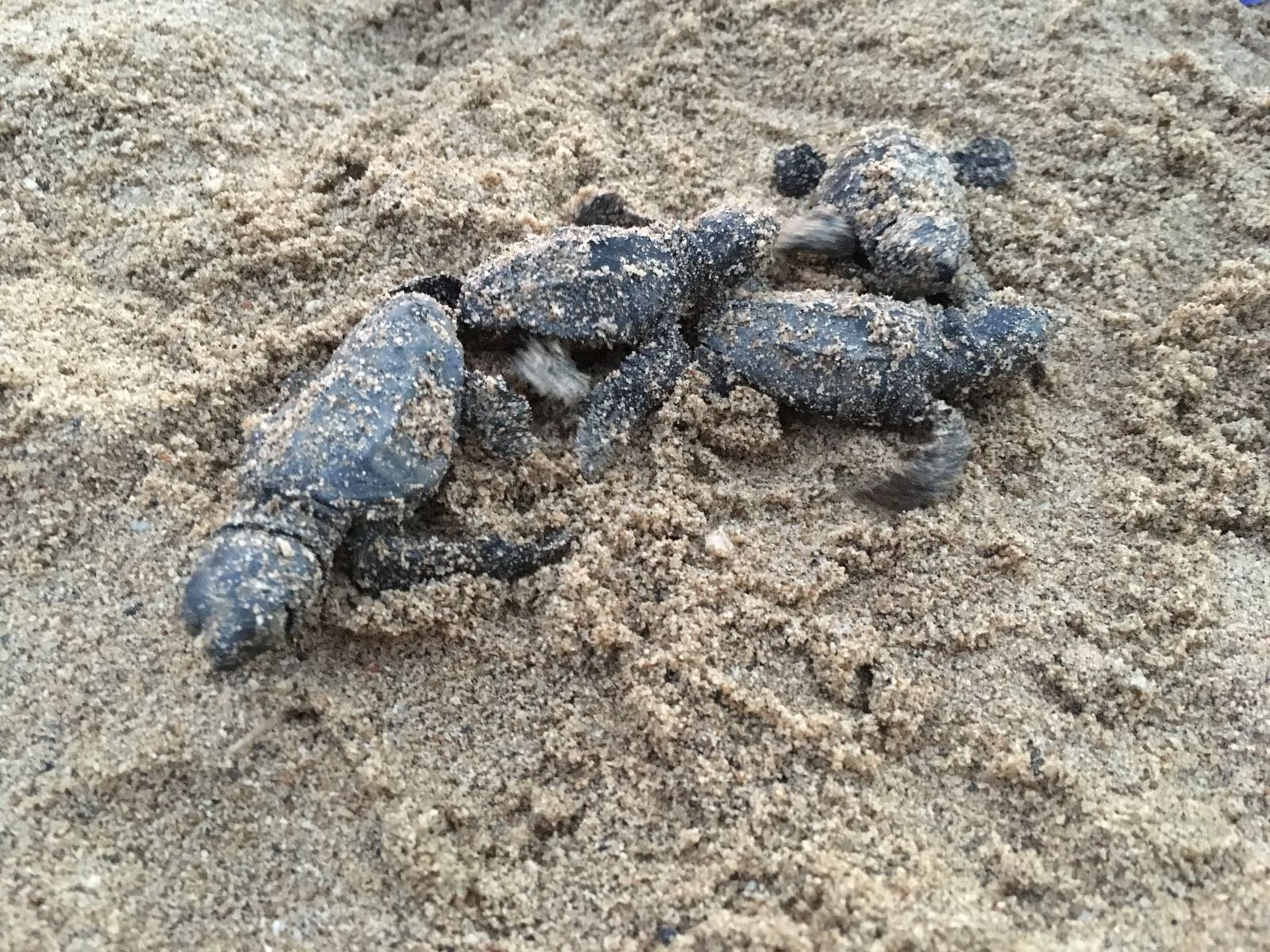 Algunes de les tortugues caretes nascudes a Cambrils