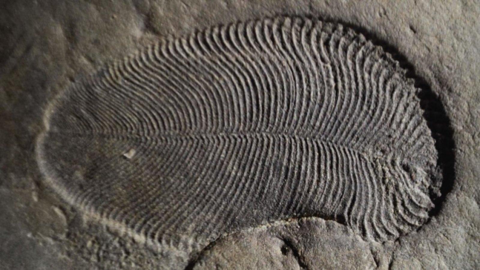 Fòssil de dickinsonia