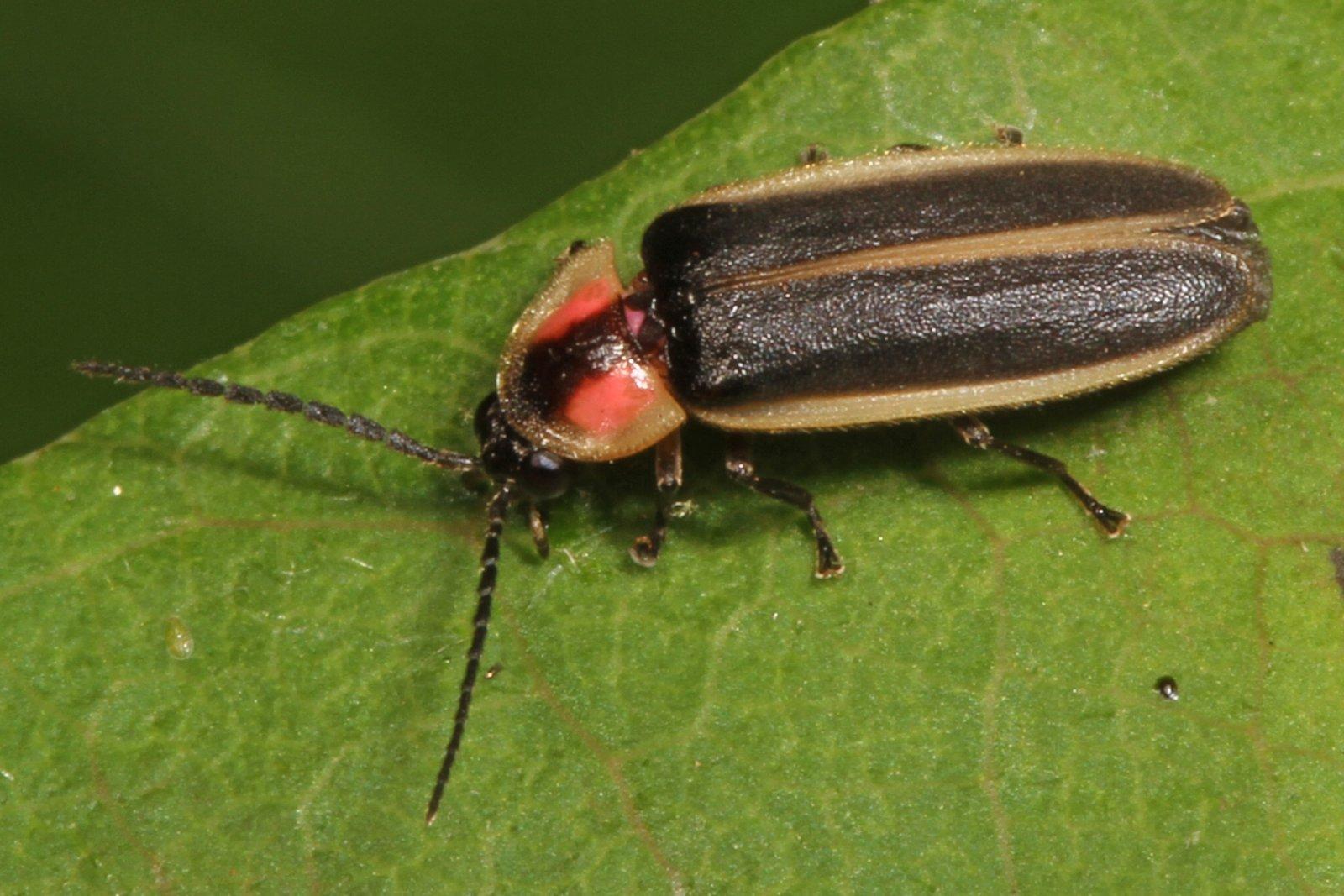 Cuca de llum del gènere 'Photinus'