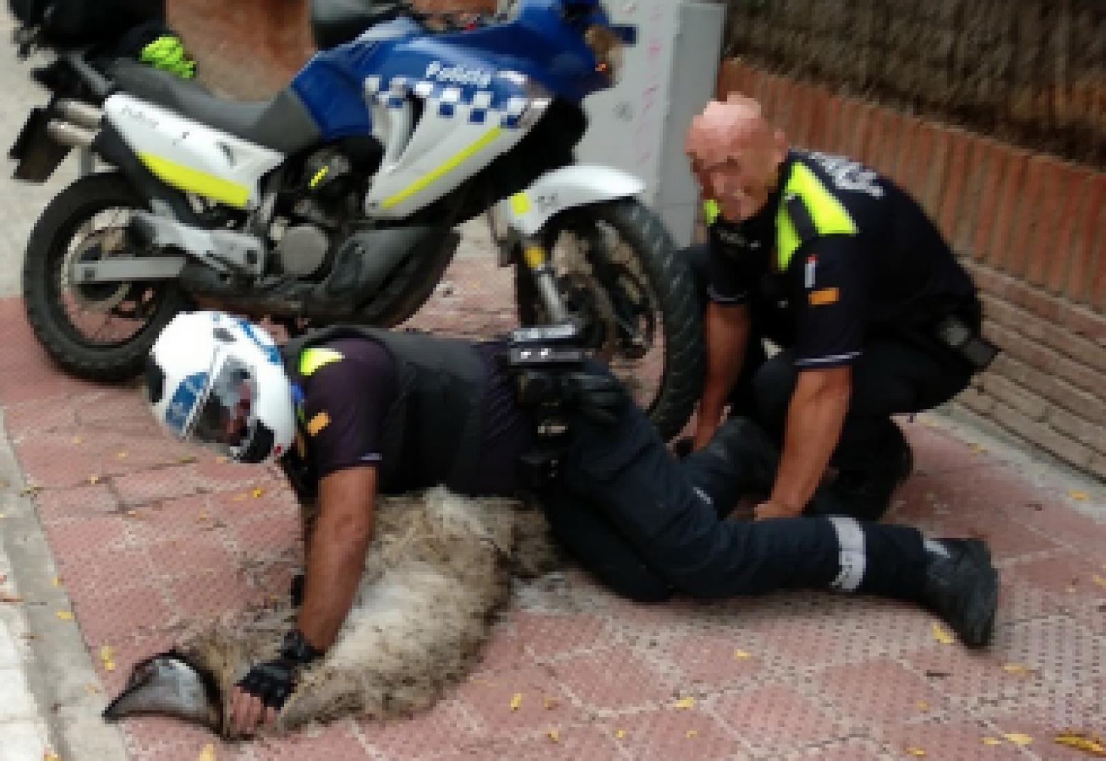 Moment en que la policia local va aconseguir capturar l'emú a Sant Cugat després d'una persecució