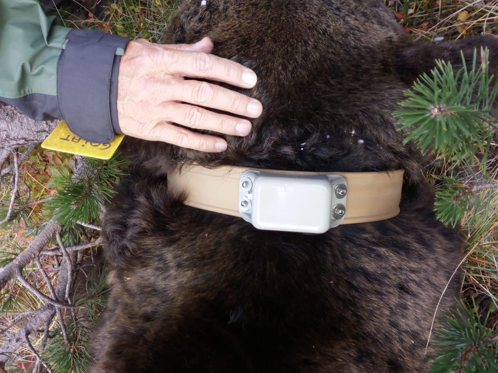 El nou collar de seguiment de l'ós Goiat just després de ser col·locat a l'animal