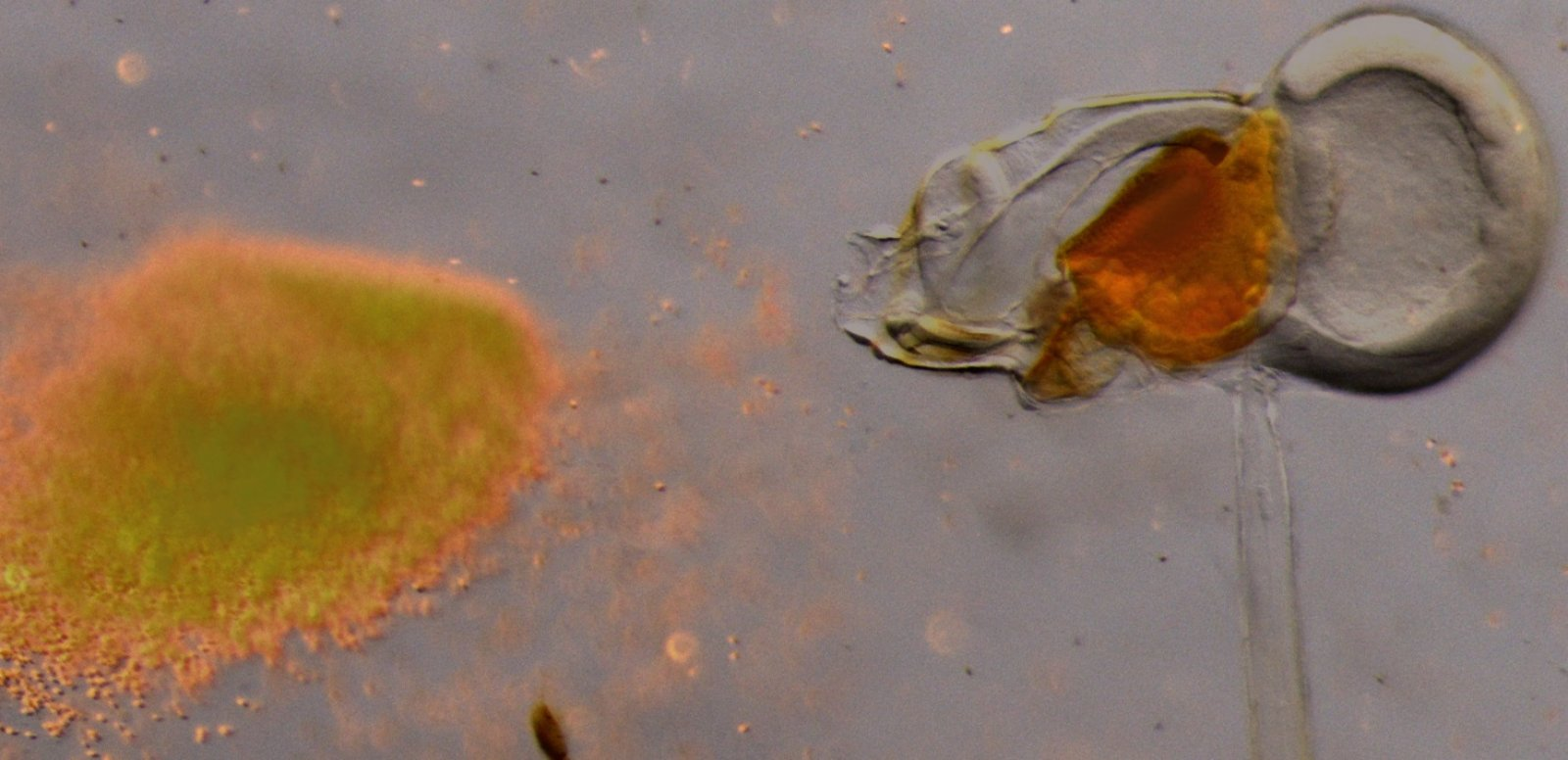 Una alga oikopleura alimentant-se