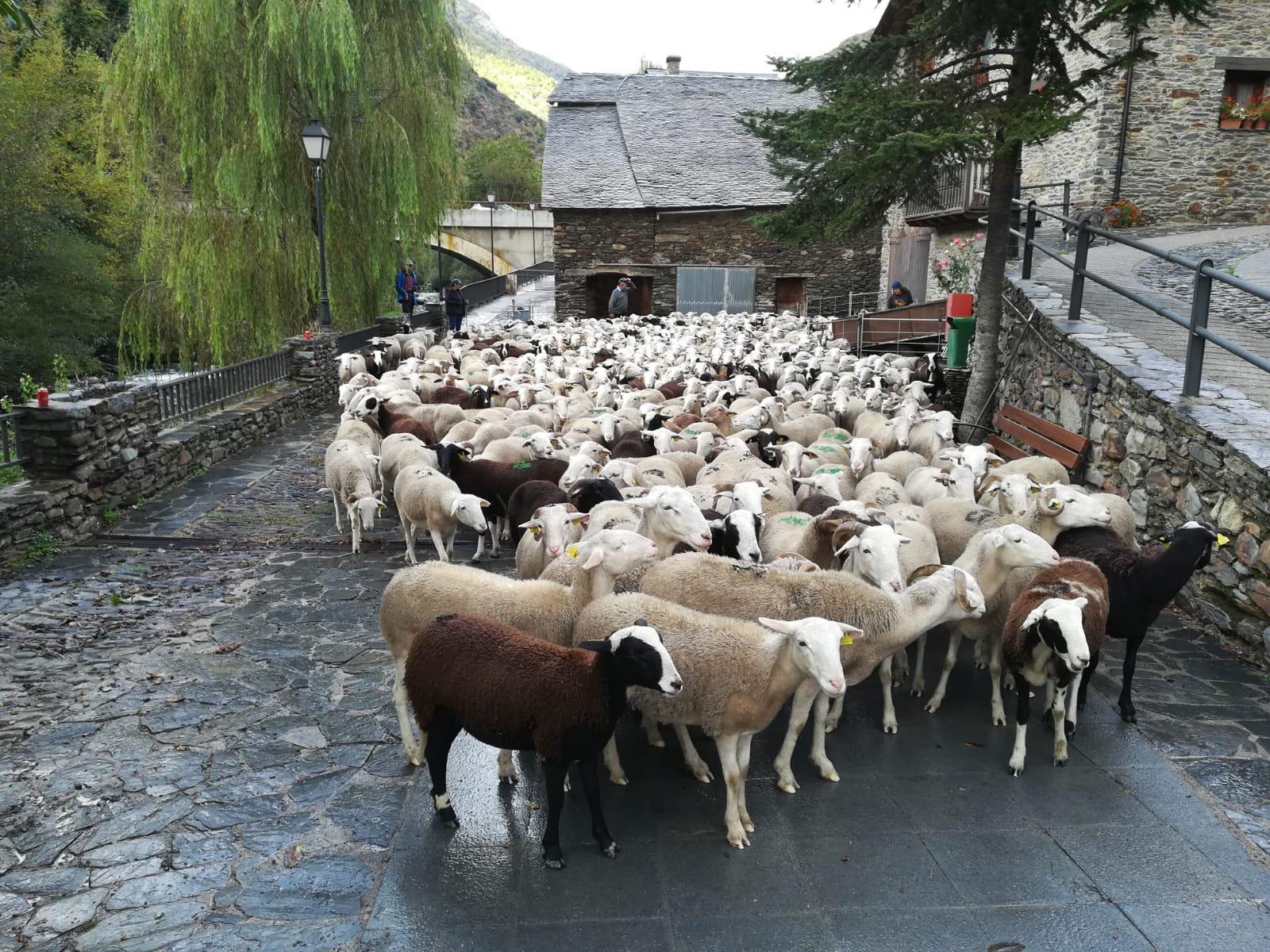 Les ovelles han baixat de les pastures d'alta muntanya