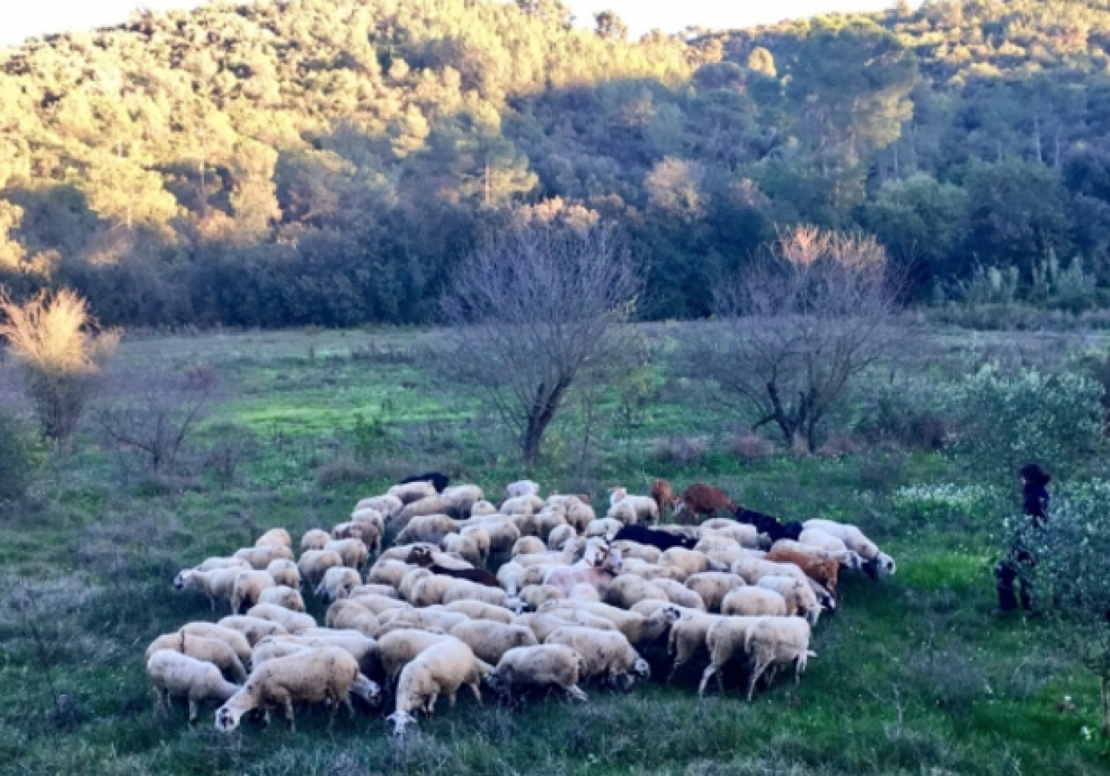 El ramat ja pastura per Collserola i Sant Cugat