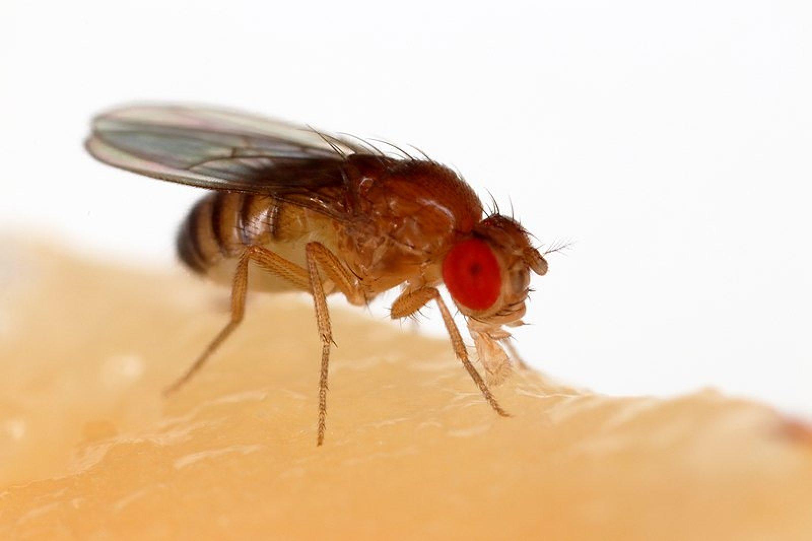 Drosophila melanogaster, també coneguda com a mosca del vinagre o de la fruita