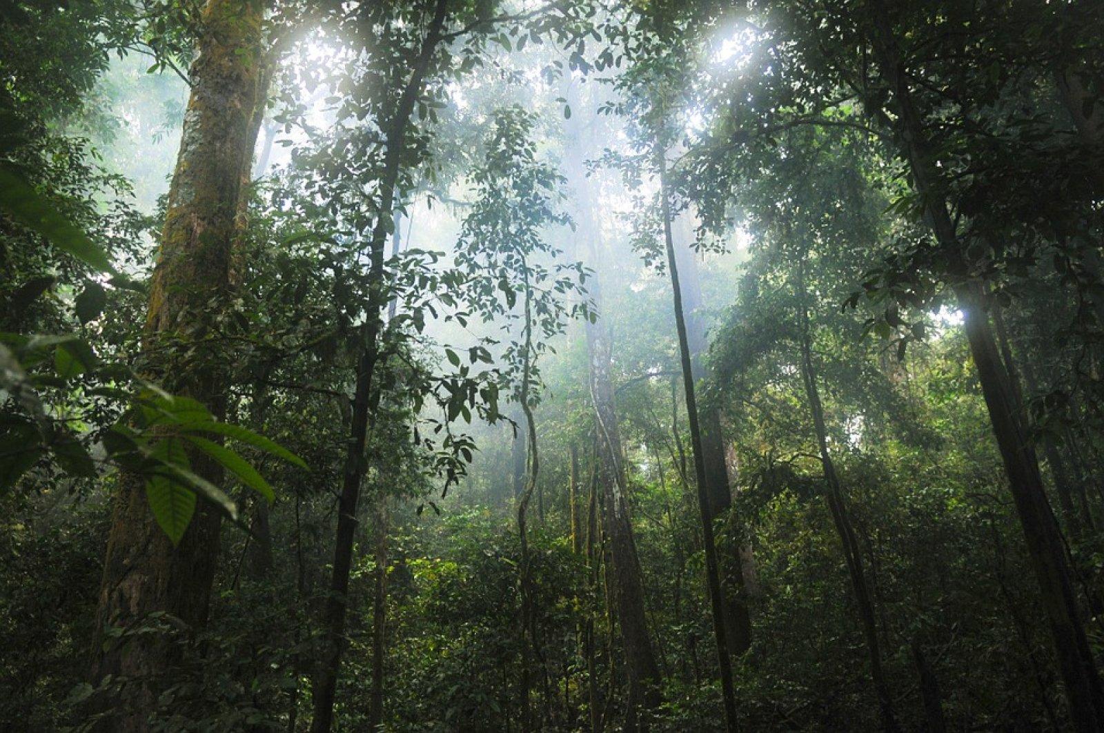 Selva nebulosa (o bosc de boira)