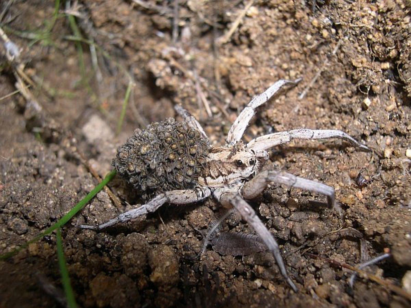 Lycosa tarantula -taràntula mediterrània- amb les seves cries