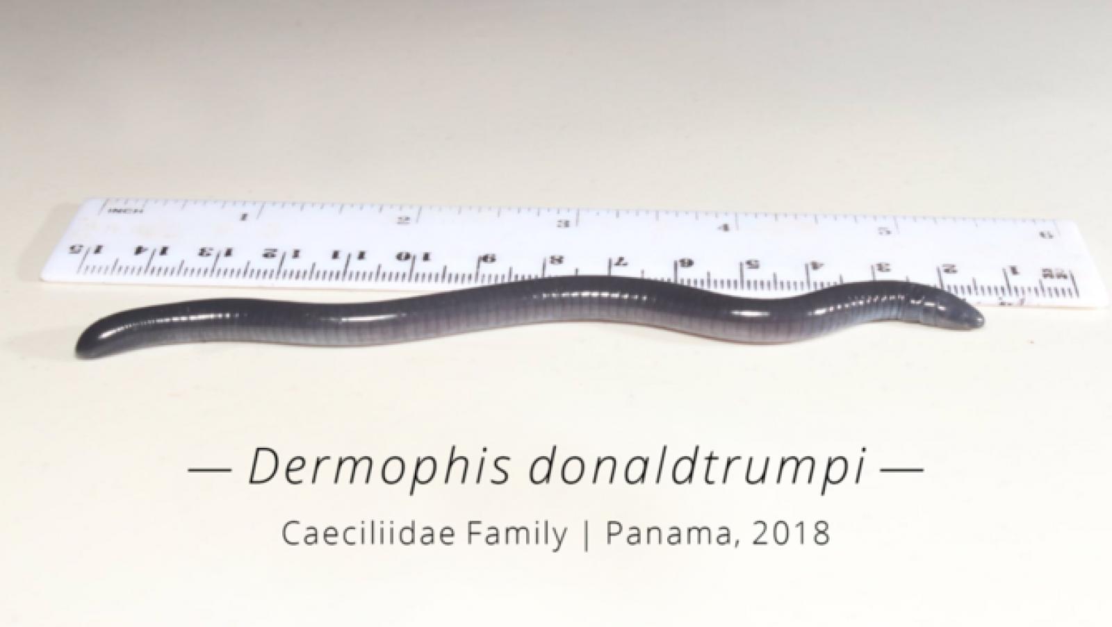 Exemplar de Demorphis donaldtrumpi