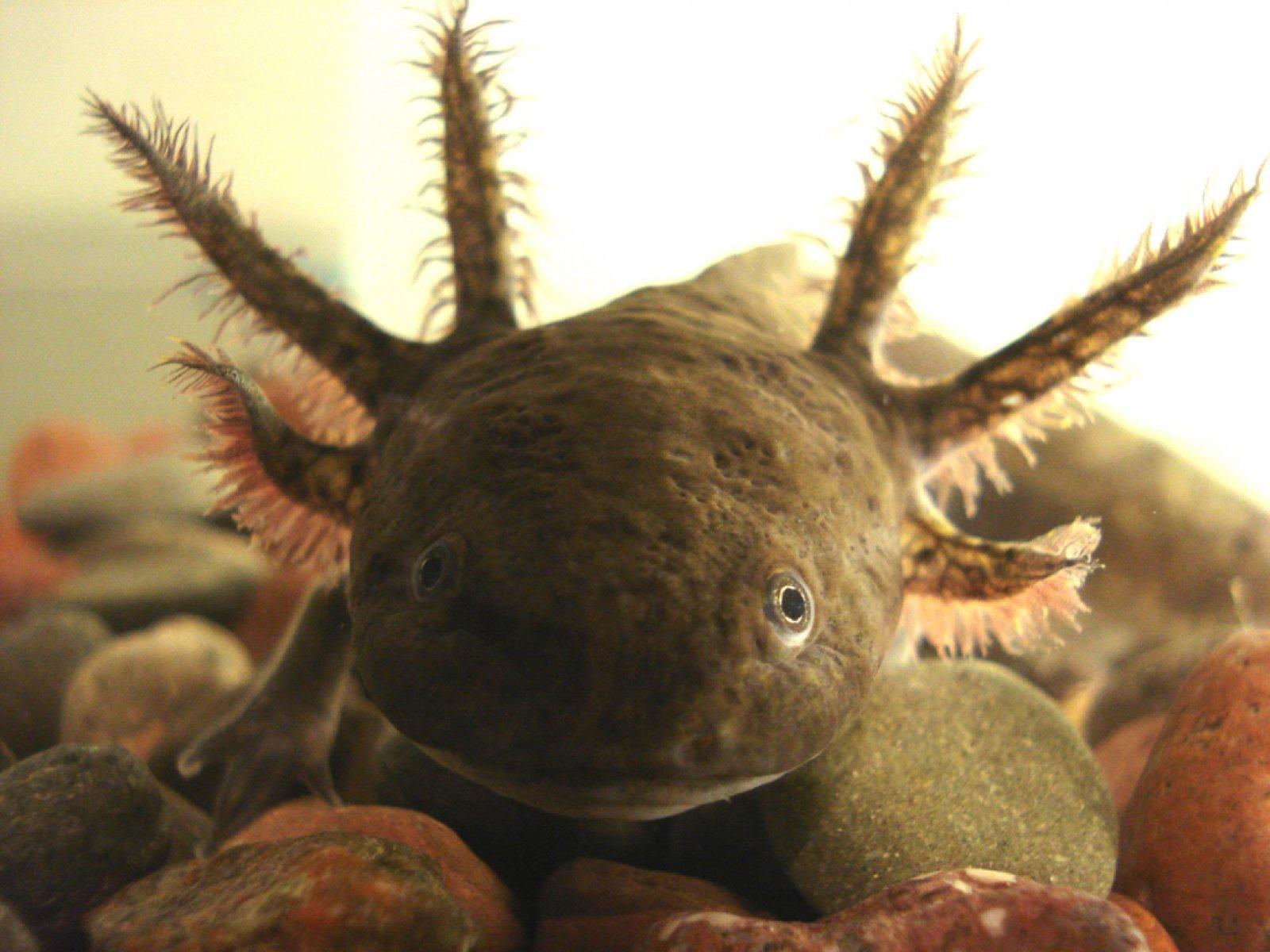 Axolot adult