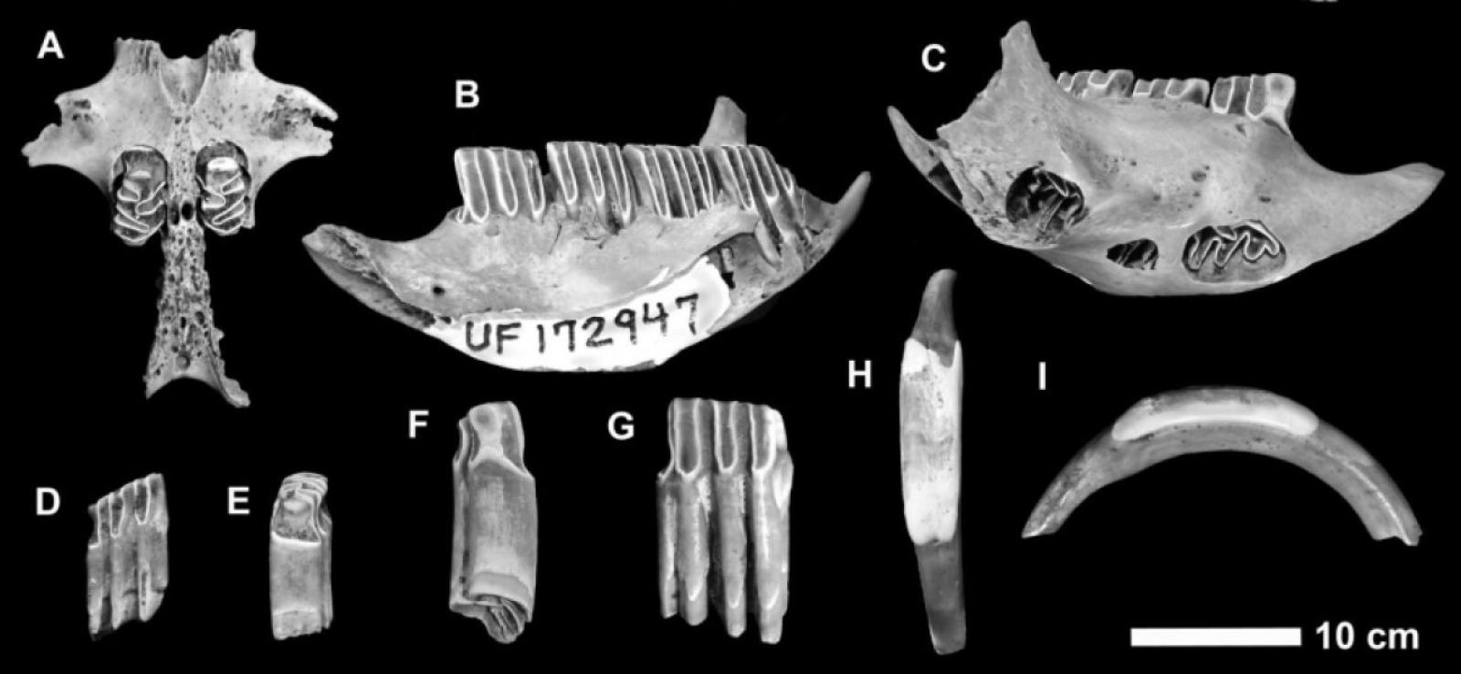 Alguns dels ossos analitzats provinents de les Illes Caiman
