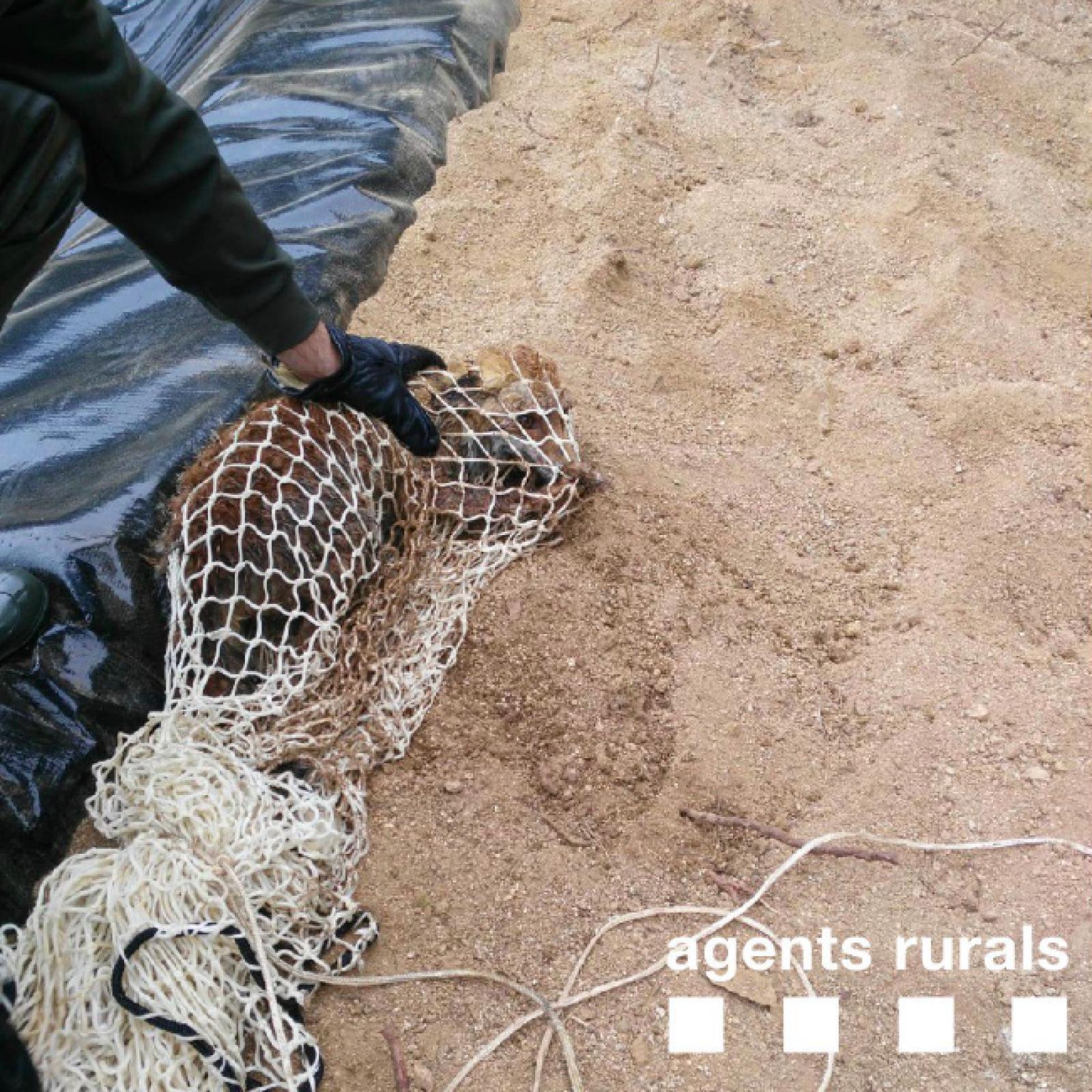 La guineu que s'estava ofegant a la bassa de rec d'Arenys de Munt, un cop rescatada