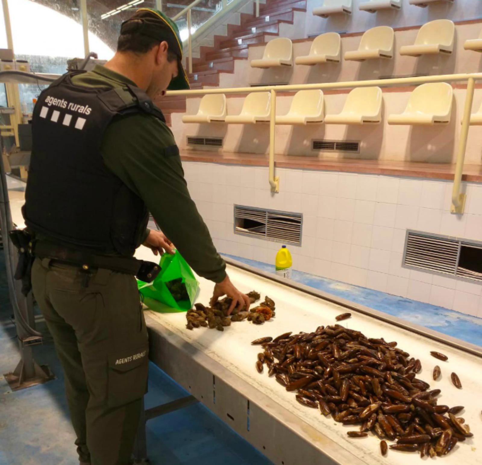 Els dàtils de mar comissats pels Agents Rurals a l'Ametlla de Mar