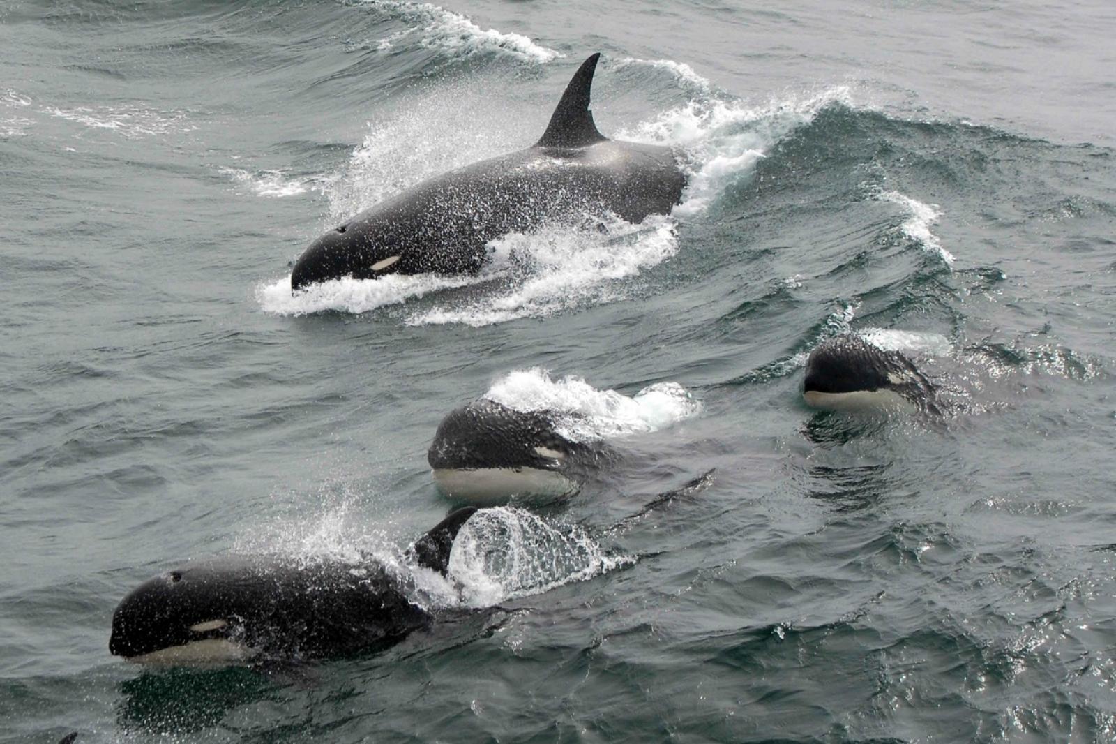 Algunes de les orques Tipus D que han estat observades al cap Horn