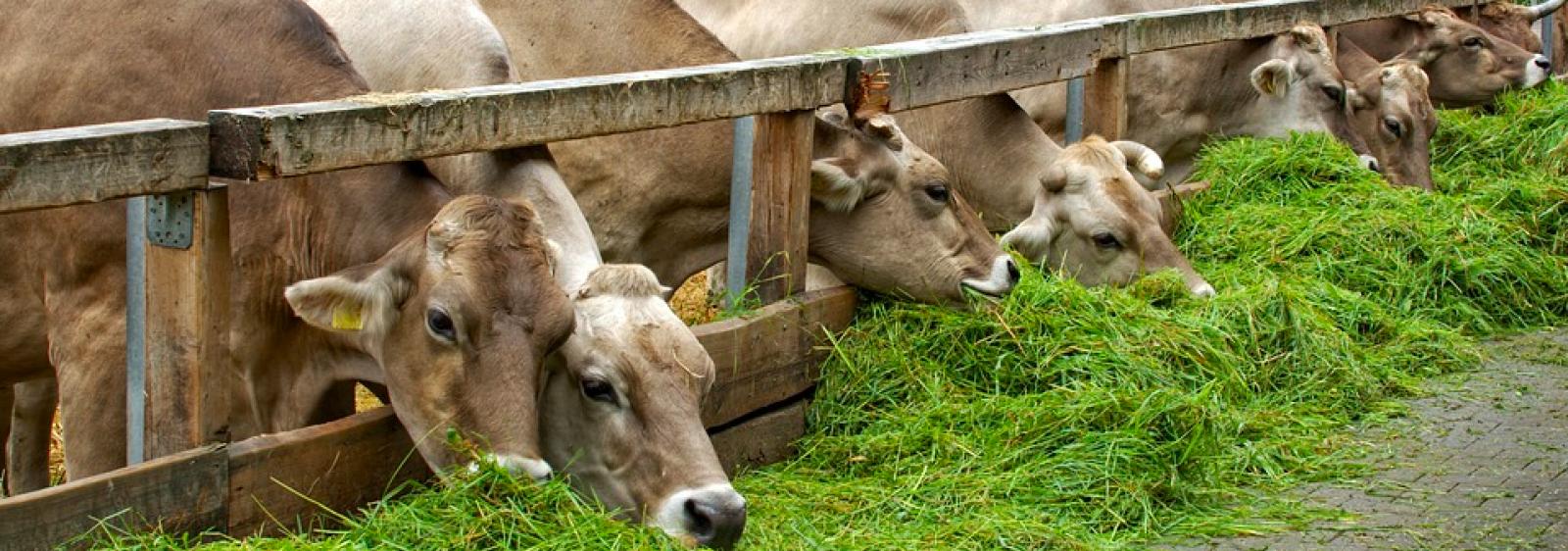 Vaques alimentant-se a una granja