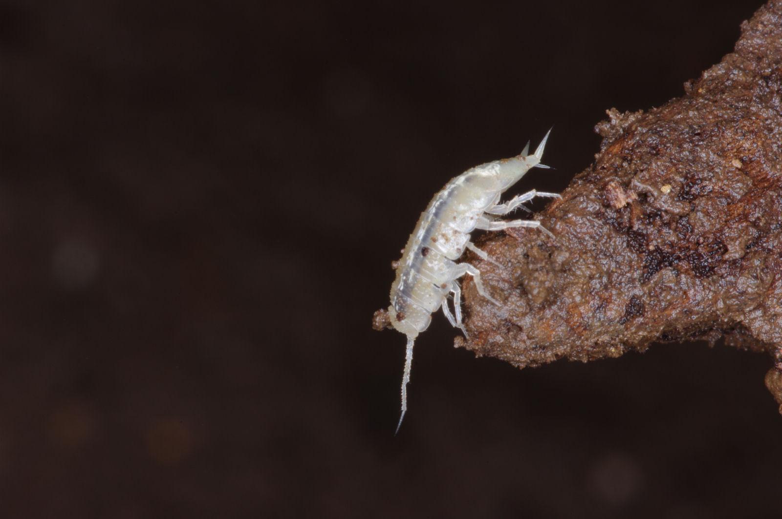 L'Alpioniscus Sideralis viu a una cova de l'illa de Sardenya, on ha tornat a adoptar l'aigua com a hàbitat