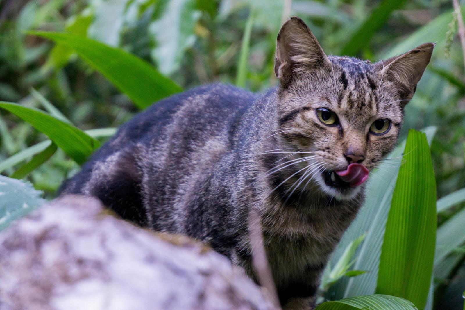 Els gats assilvestrats són una gran amenaça per a moltes espècies animals