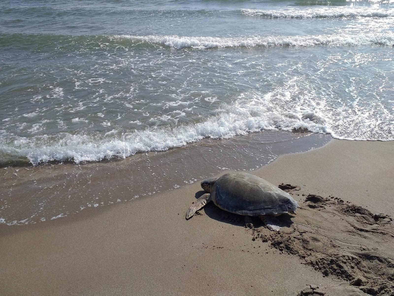 Tortuga tornant a l'aigua després de ser rescatada i recuperada