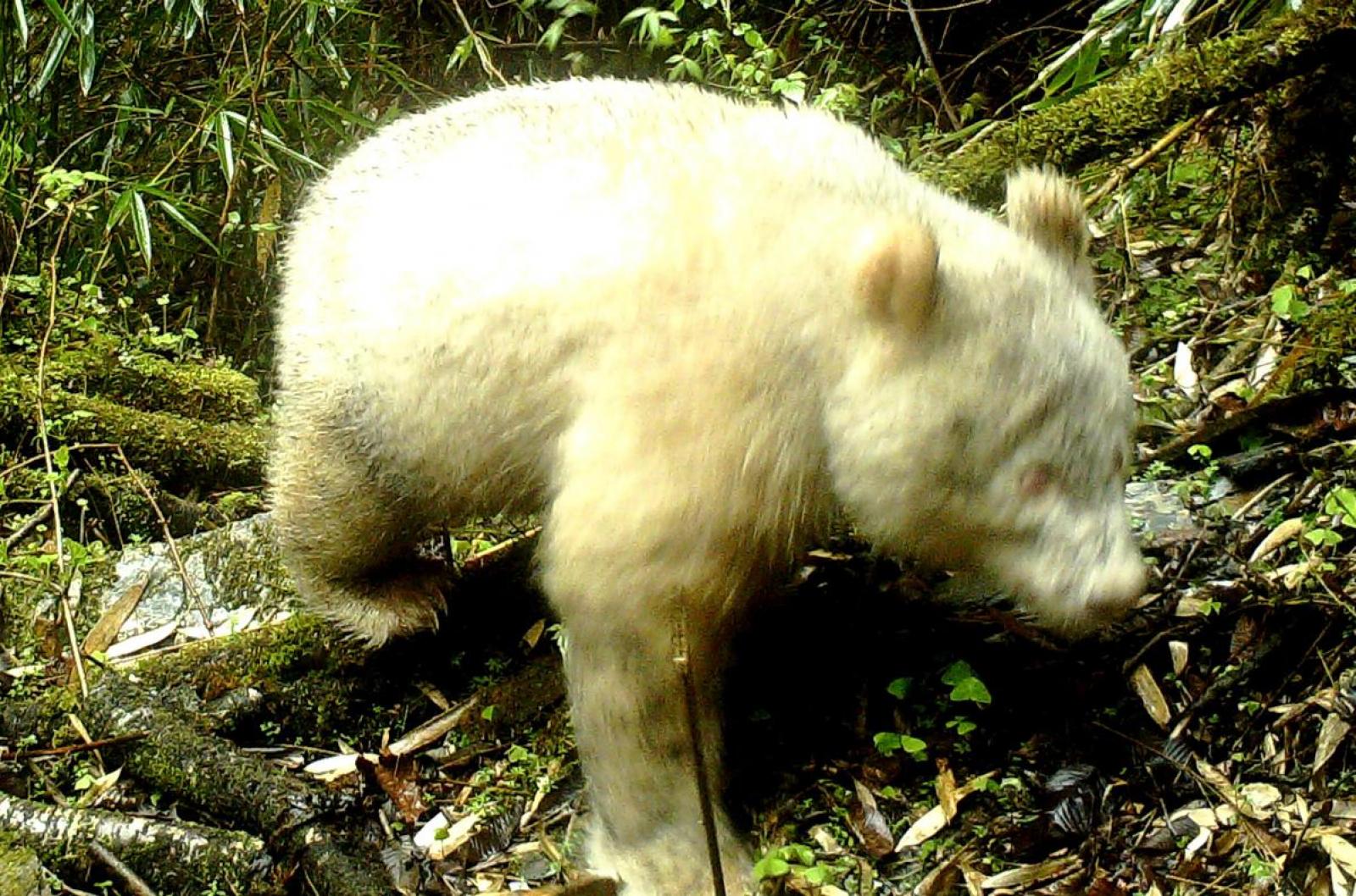 L'animal ha estat vist a la província de Sichuan, al sud-oest del país