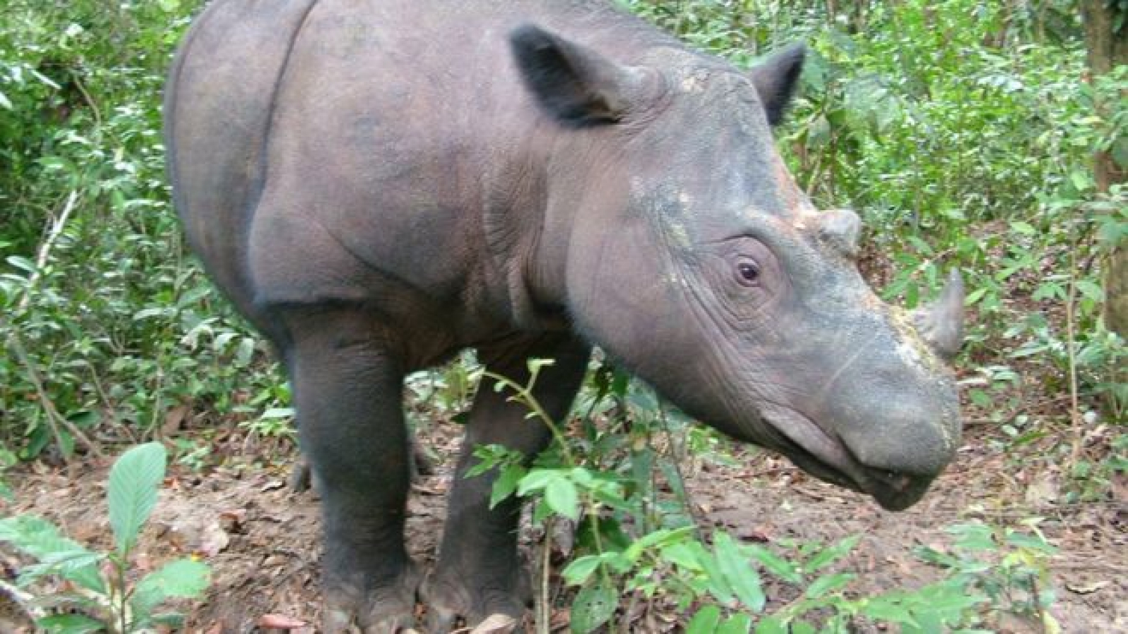Un exemplar femella de rinoceront de Sumatra