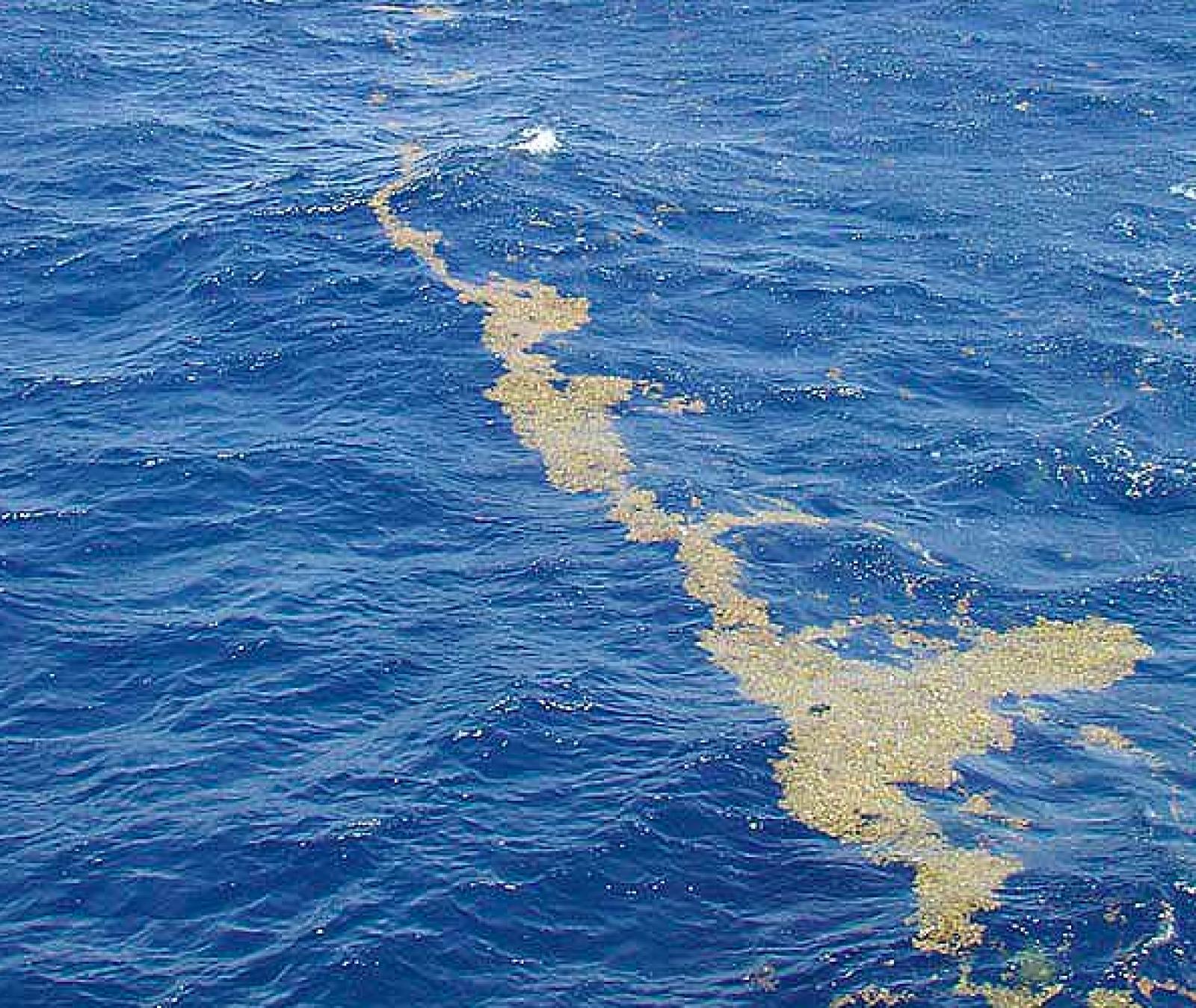 El mar dels Sargassos