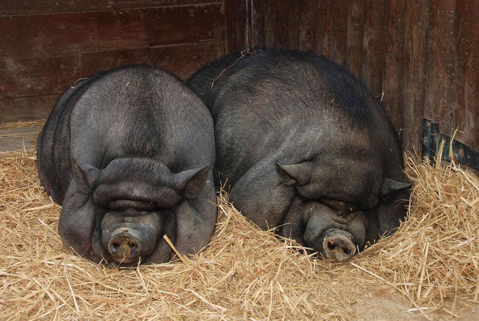 Porcs vietnamites