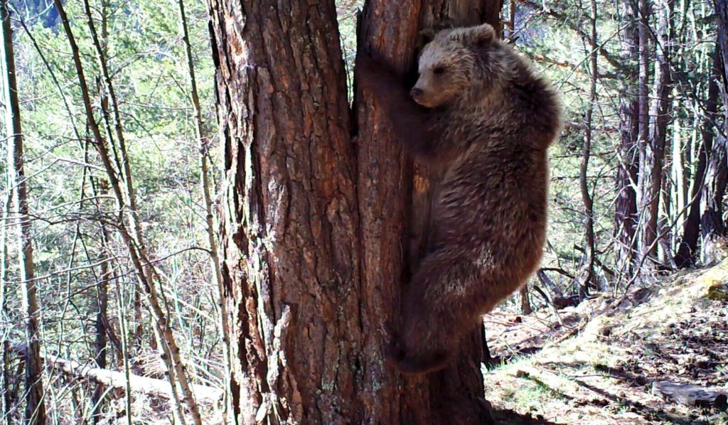 L'ós Goiat en una imatge de 2018