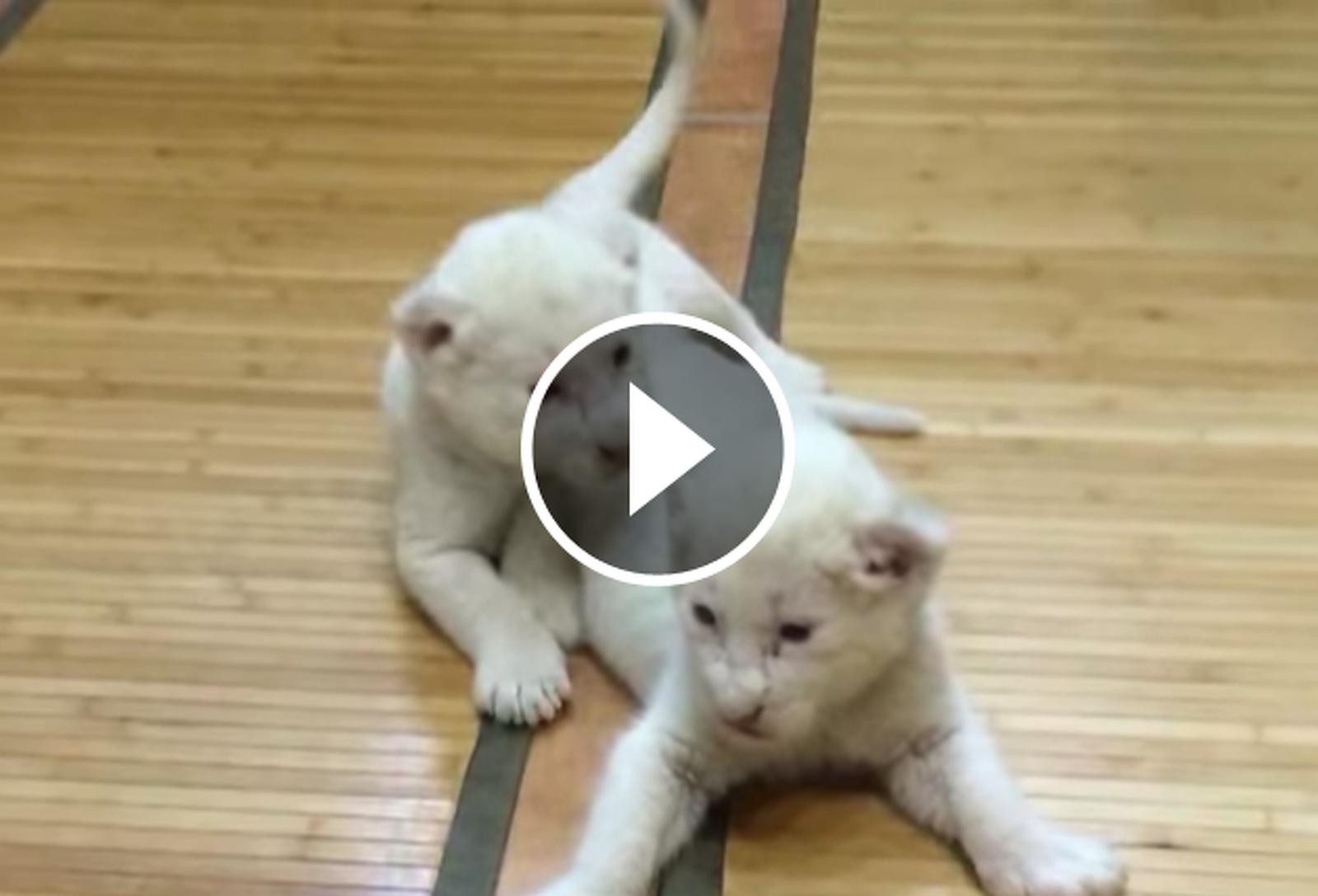 Dos lleons blancs han nascut en captivitat a França