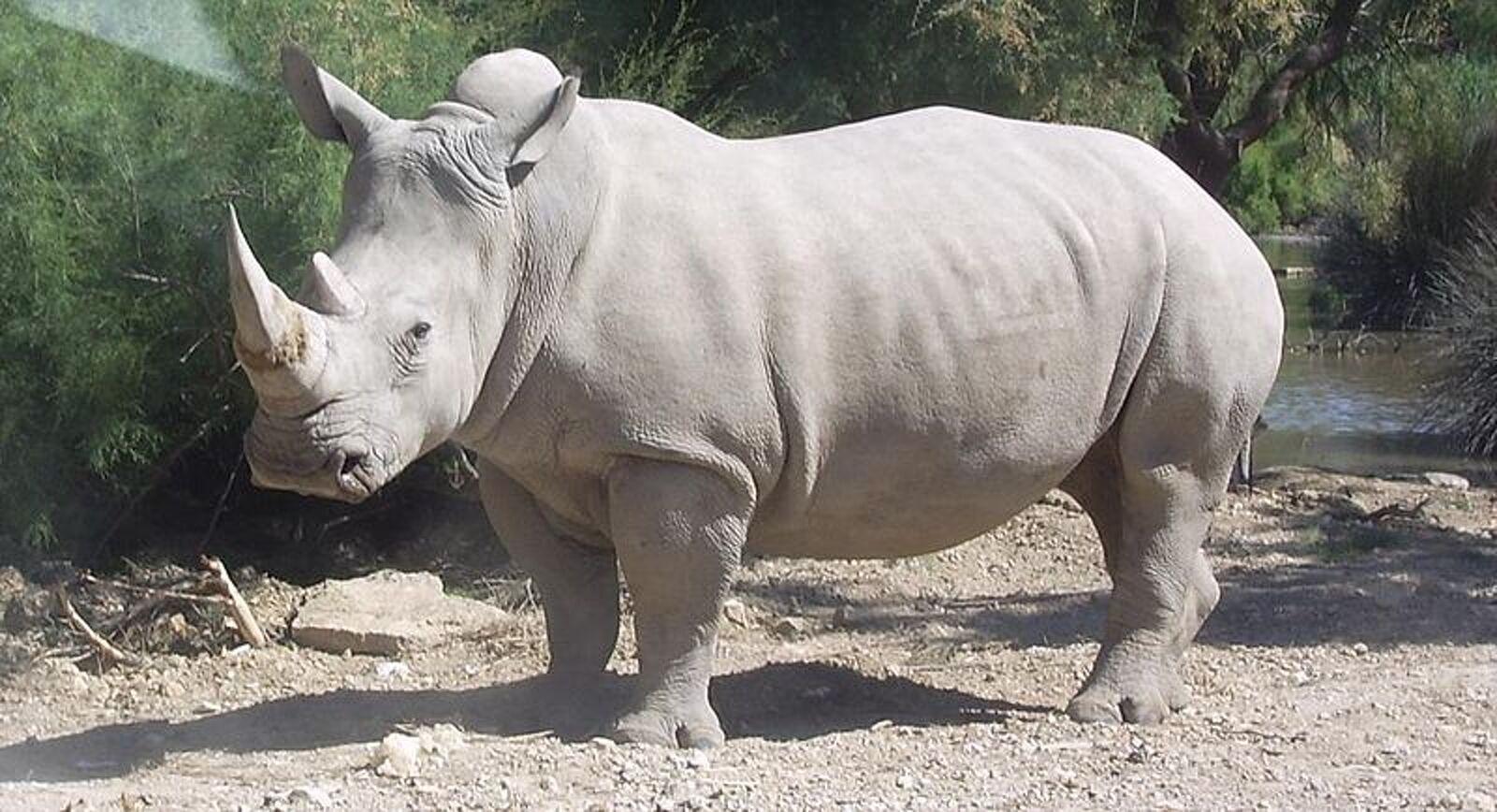 Rinoceront blanc