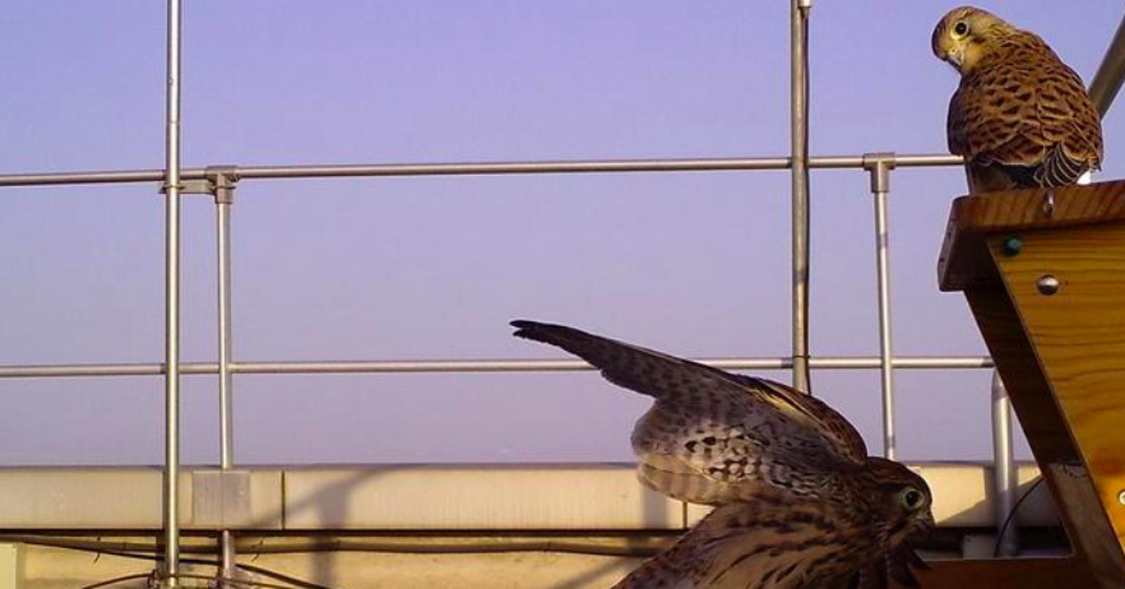 Els falcons xoriguers que s'han reintroduit al Llobregat