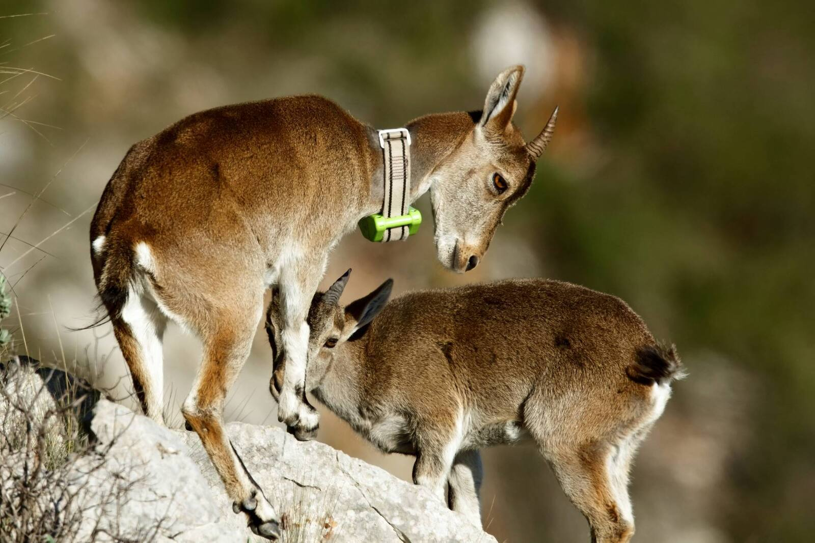Cabres salvatges al massís del Montgrí