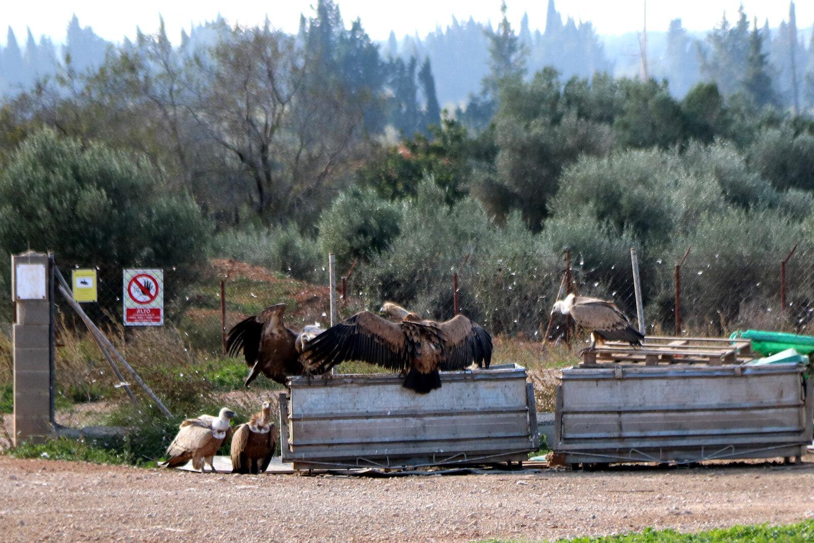Voltors inspeccionant uns contenidors d'animals morts a Vinallop