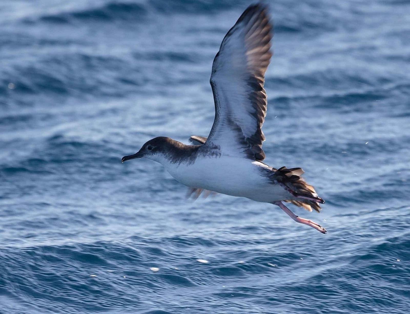 Aquesta espècie és un dels ocells marins més perjudicats per l'impacte de l'activitat pesquera arreu del món