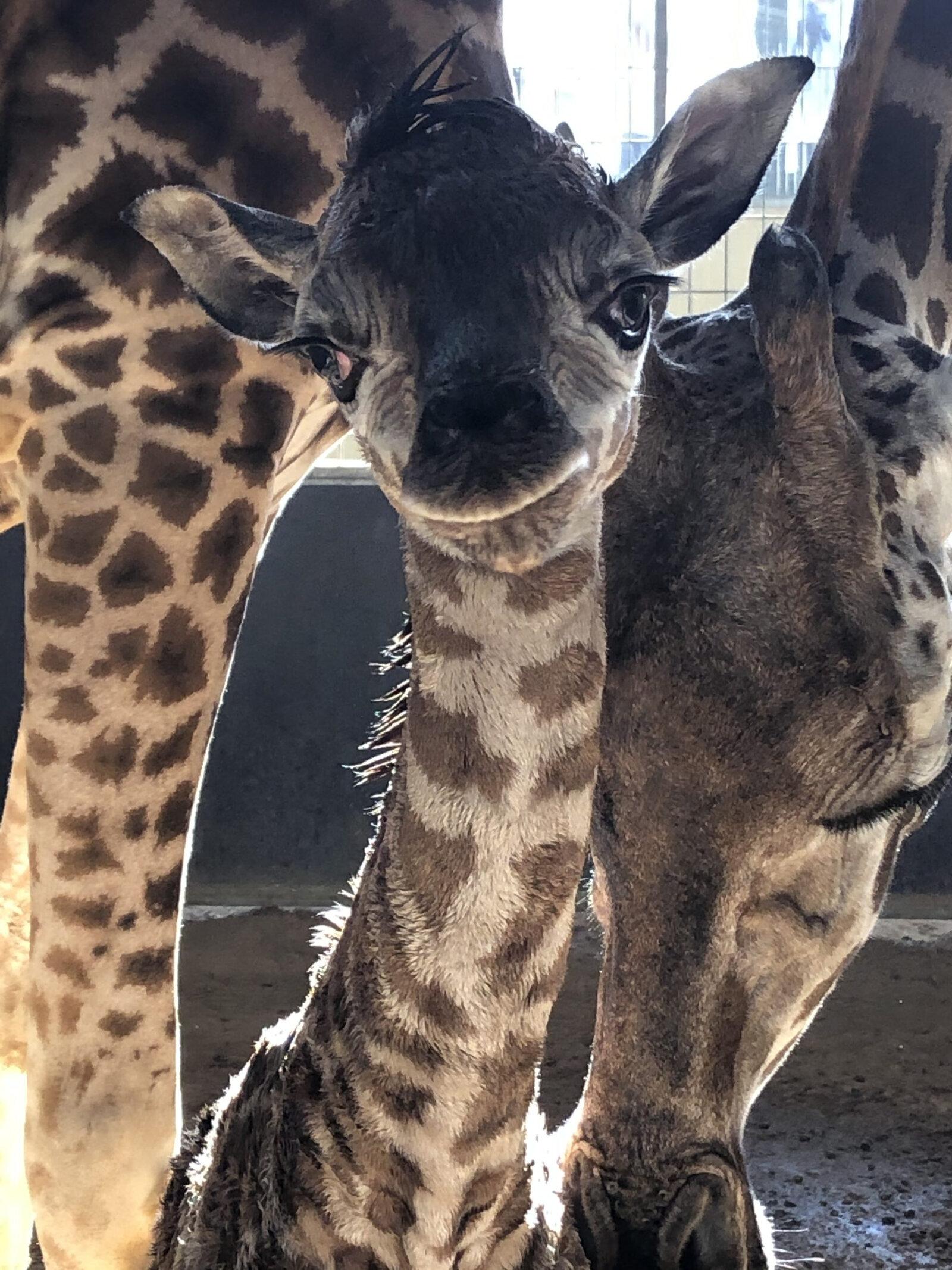 La jirafa nascuda fa poc al Zoo de Barcelona