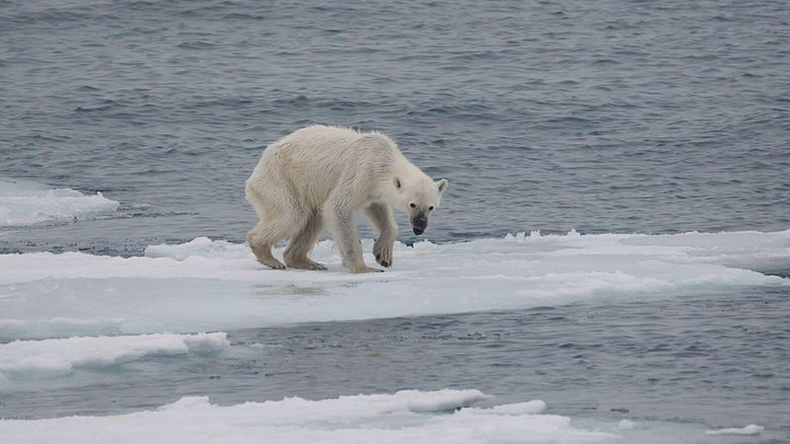 Un ós polar molt prim, morint de gana a l'Àrtic