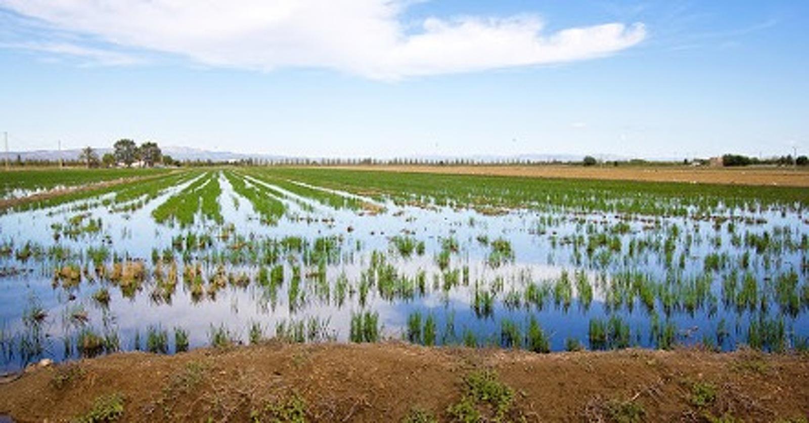 Arrossar inundat al Delta