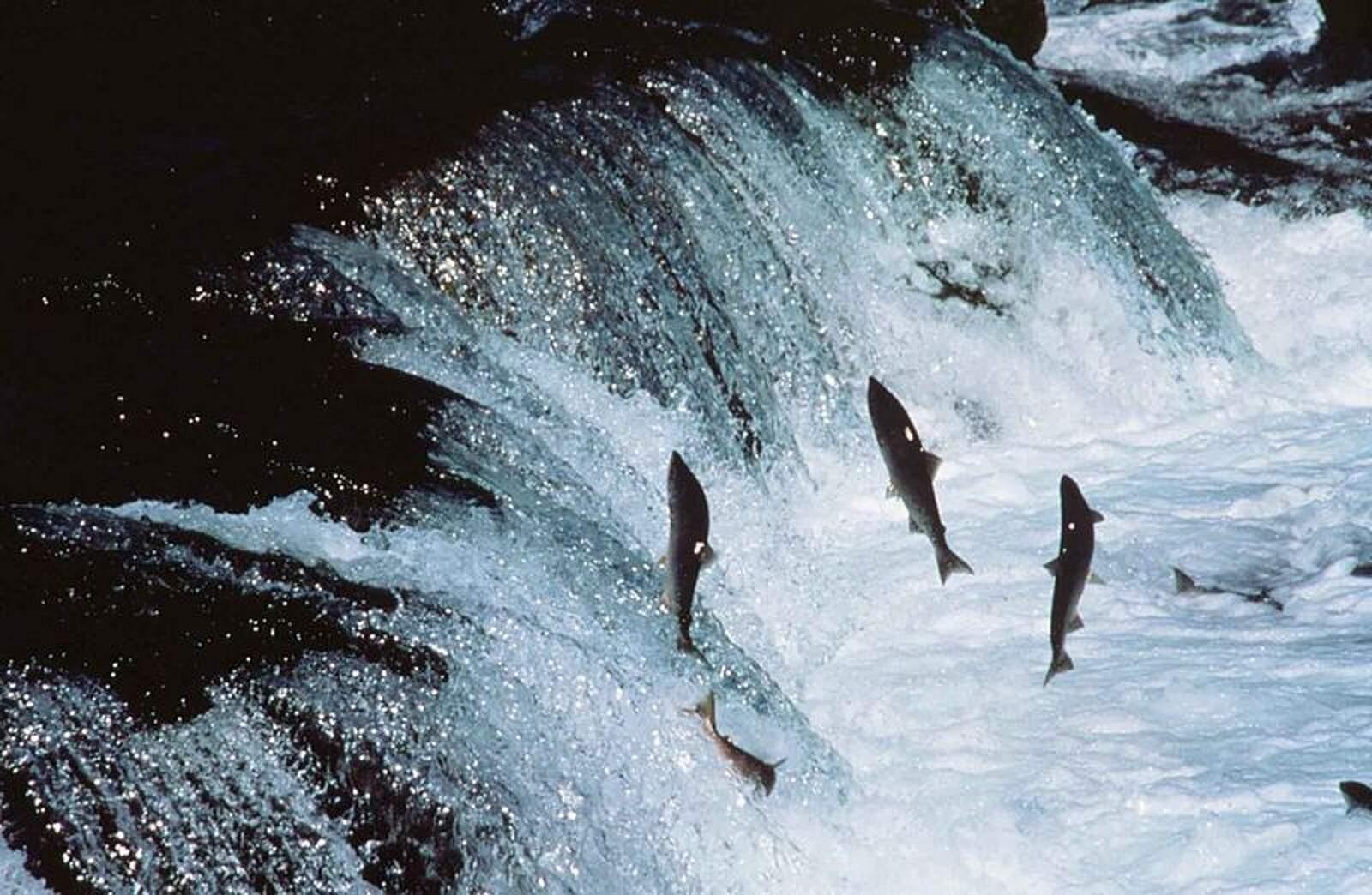 Els salmons són l'hoste d'aquest animal, un paràsit anaerobi