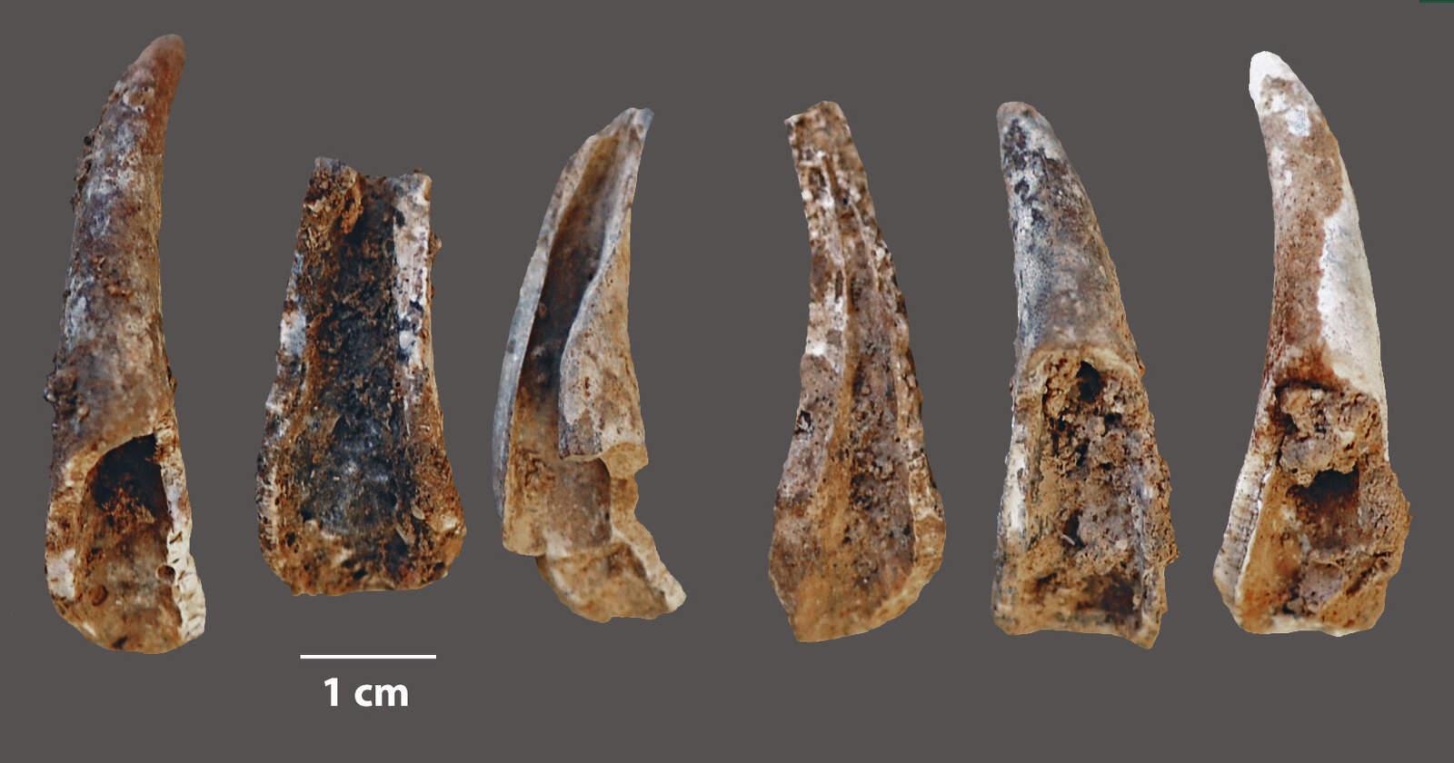 Fragments oberts i cremats de pinces del crustaci Cancer pagurus
