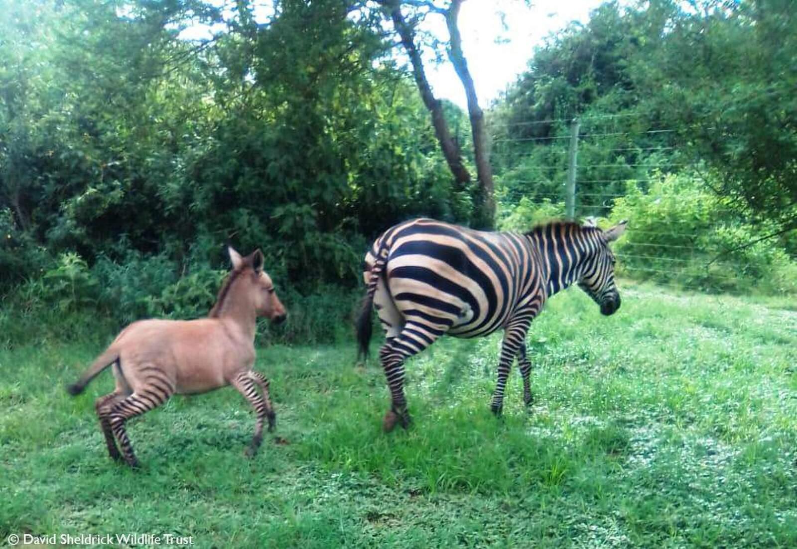 La zebra i la seva cria híbrida
