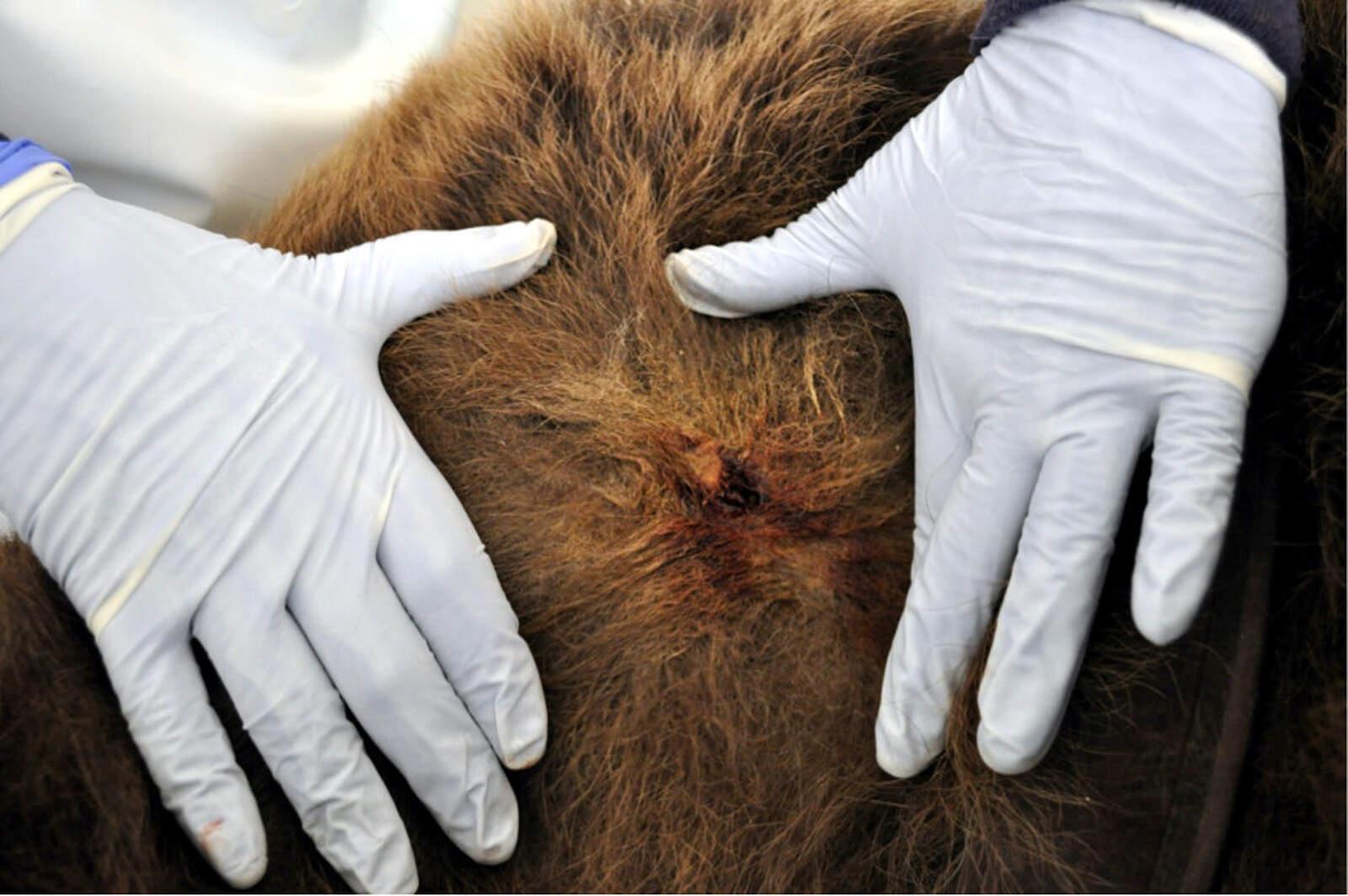 El cadàver de Cachou durant l'autòpsia