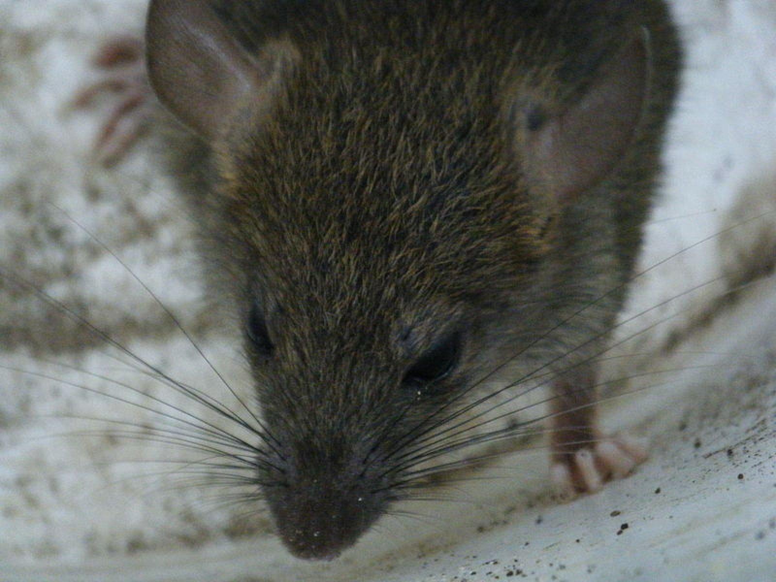 Un exemplar de rata noruega