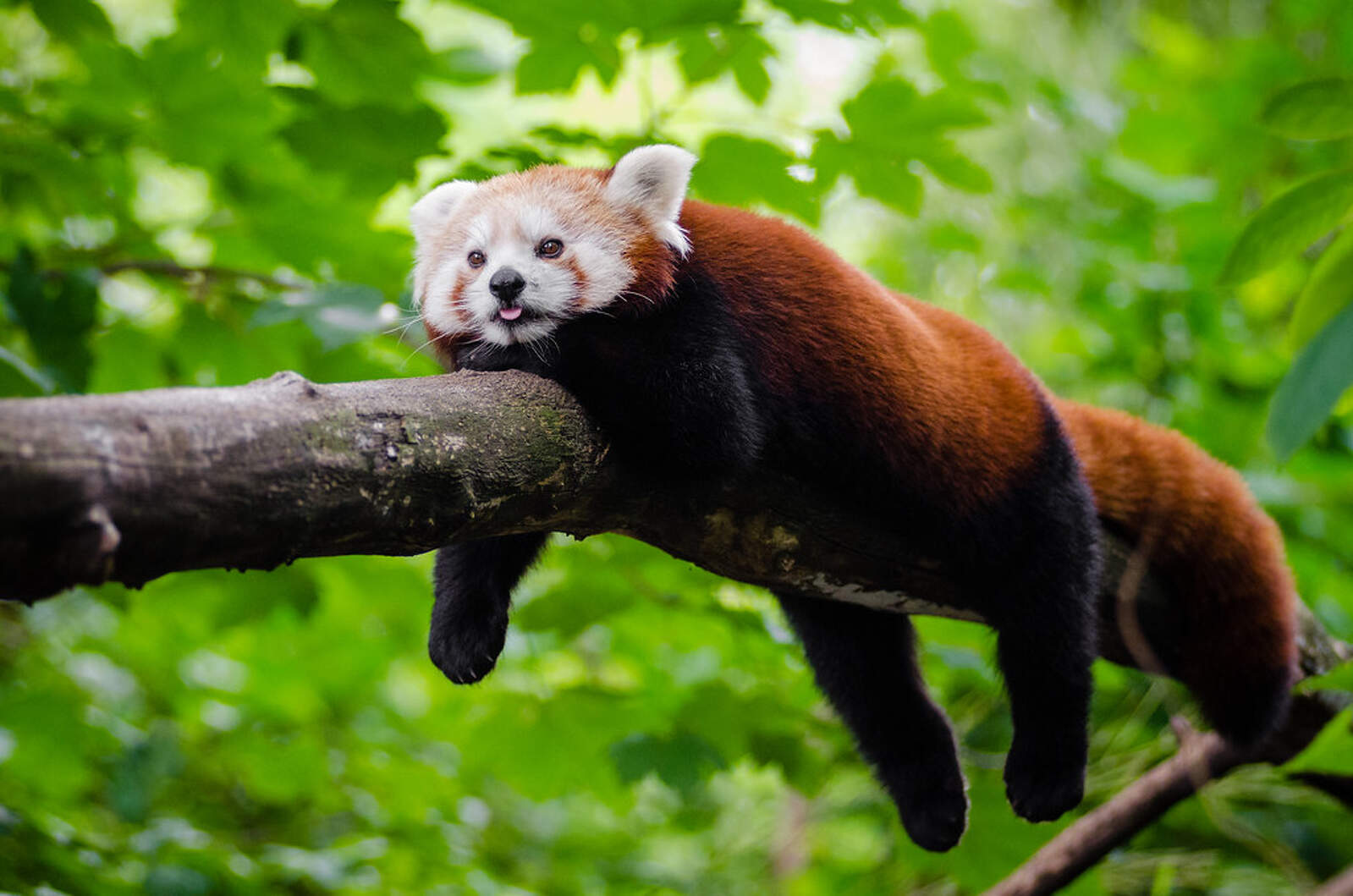 Panda vermell