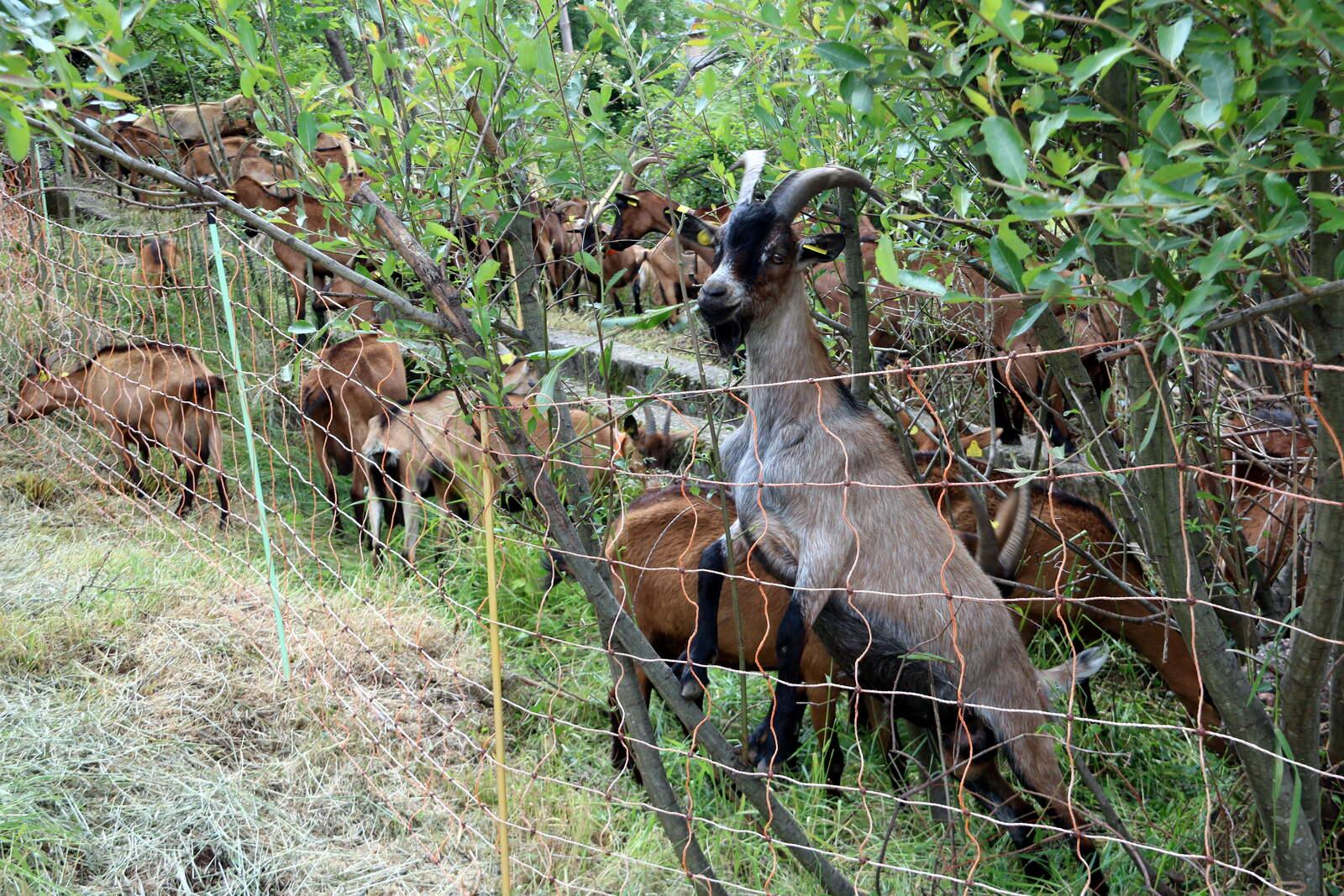 Ramat de cabres menjant d'un hort erm a Vilamur