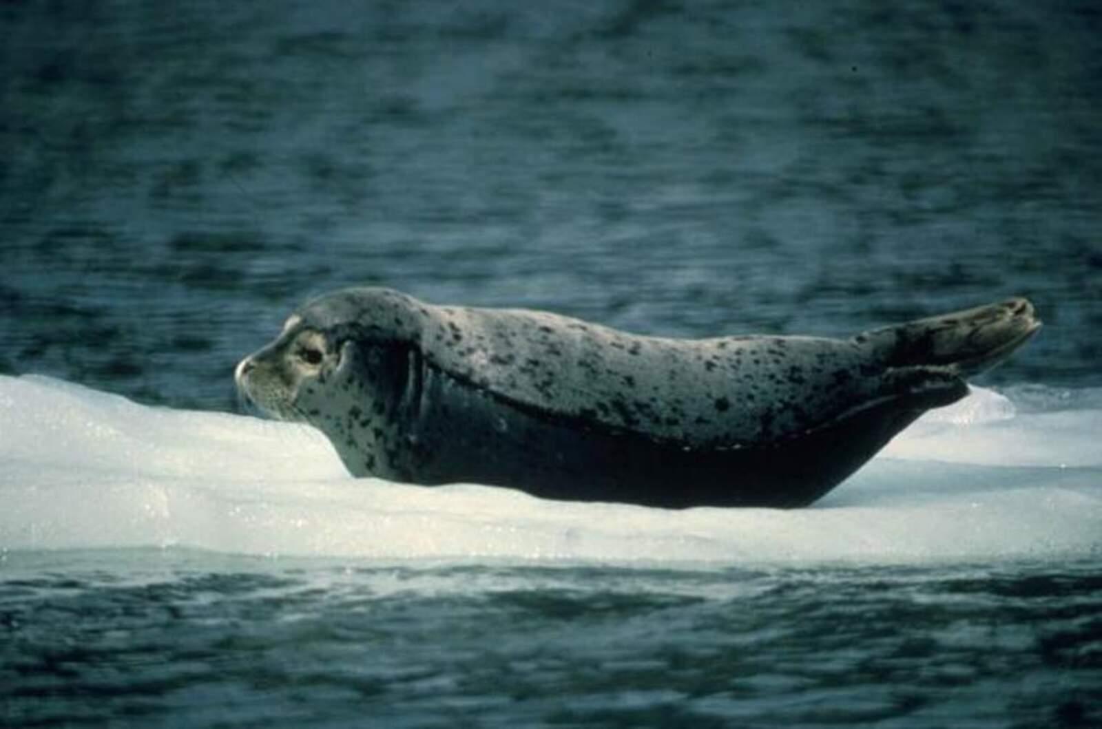Foca a l'Àrtic