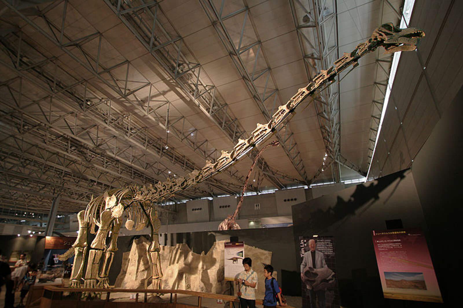 L'esquelet d'un titanosaure, conservat al Japó