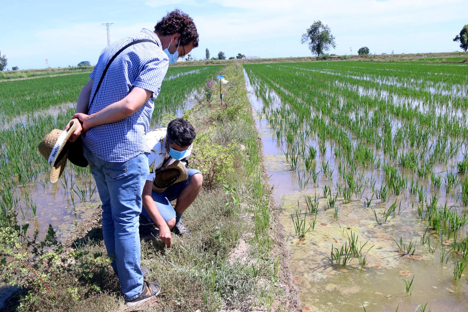 Investigadors de l'IRTA observant la vegetació d'un dels cordons que separa els arrossars del Delta